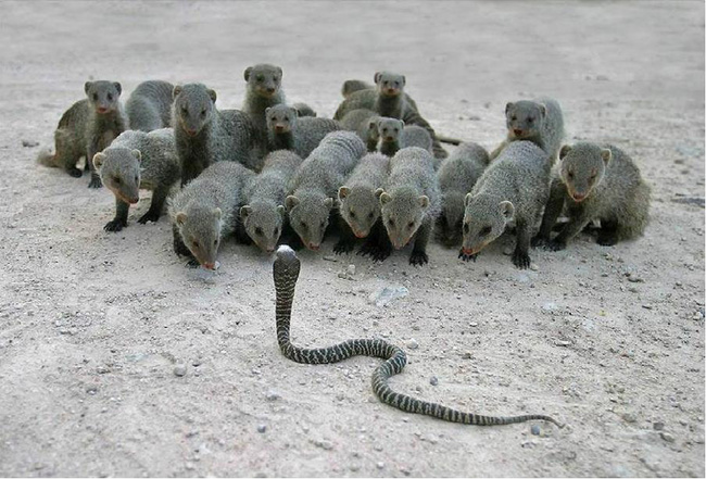 The Mongoose Lessons In Fighting From Natures Greatest Outfighter