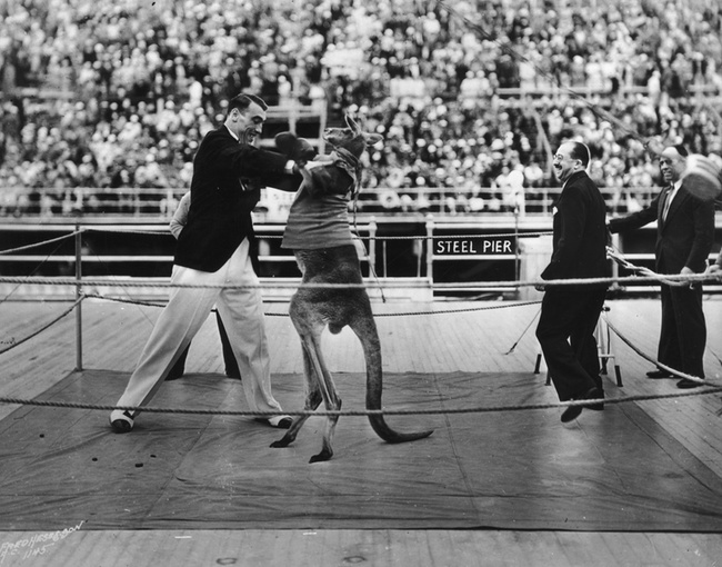 The Prolific and Upsetting History of Humans Boxing Kangaroos | FIGHTLAND
