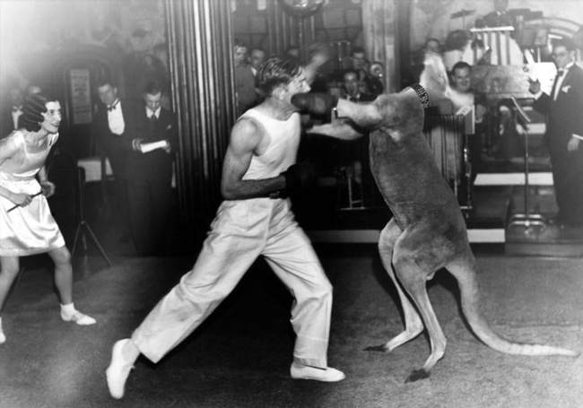 Kangaroo boxing became a full-blown trend in the next few years, making its way to carnivals, theaters, and exhibitions across Australia, the U.S., England, ...